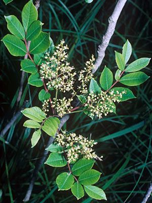 Well-written, comprehensive article on poisonous and irritating plants commonly encountered in woods and home gardens. Includes photos of the plants, description of the parts of the plant, usual skin reactions, and local care/treatment !
