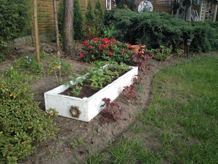 Raised bed for wild strawberries