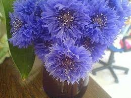 Cornflowers in a vase.