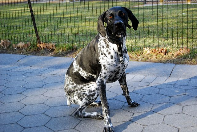 Black English Pointer Puppy 109 best images...