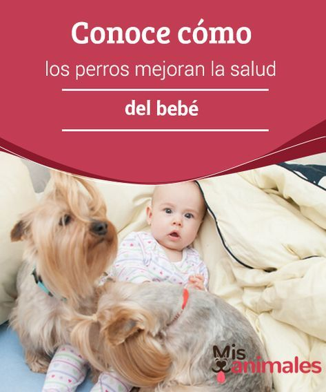 Conoce cómo los #perros mejoran la salud del bebé Algunas parejas con #mascotas se ven en la incertidumbre de qué hacer con su #perro cuando ella se queda embarazada. Lo cierto es que es tan solo un #mito el pensar que un bebé no puede nacer en un hogar en el hay animales.