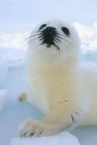 White seal.  Those babies are still killed in Canada for their fur. Please, protect them.