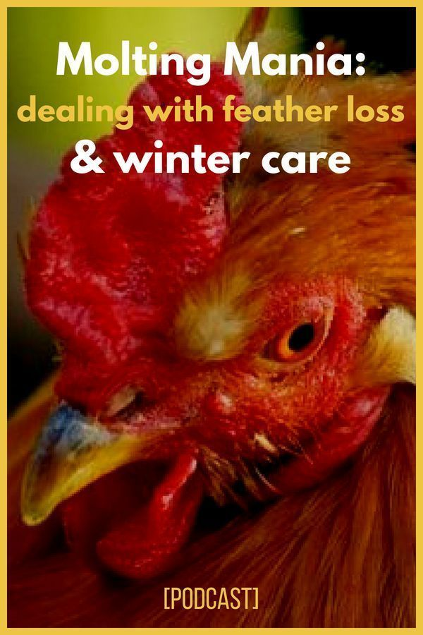 LOVE THIS! Learn how to deal with molting chickens ...