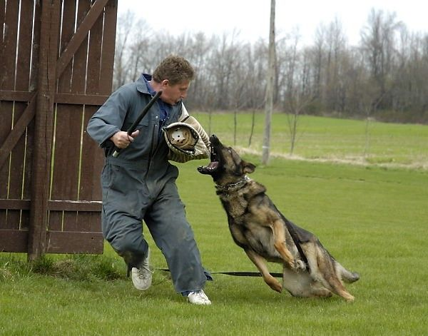 Schutzhund  - Attack Training  http://germanshepherddog.com/schutzhund/index.htm