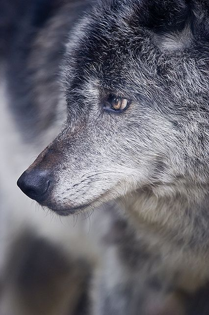 Grey Wolf...the one appearing early this morning was white-grey sit/standing inside a large hollow in huge tree amidst forest that had been struck by lightening, which usually travels down part of the inside of a large tree during a strike.