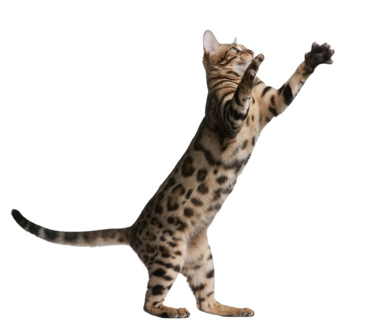Information on bengal cats