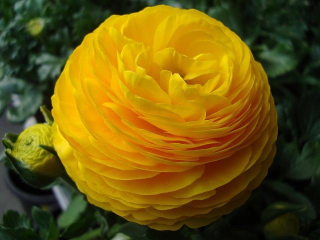 Ranunculus -- love 'em