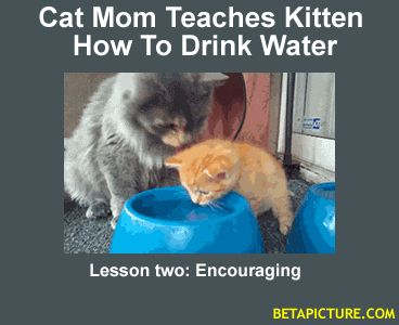 HOW CUTE - Cat Mom Teaches Kitten How To Drink Water.