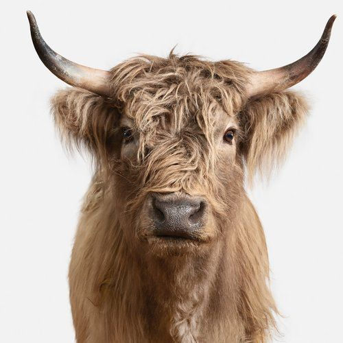 Found it at AllModern - 'Highland Cow II' Photographic Print on Canvas