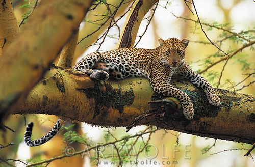 In this photograph, light, subject, and habitat come together to create one of my favorite images of a leopard resting in the massive boughs of an acacia. Leopards are still considered common in Africa, although their numbers have seen regional reductions in many areas due to human encroachment and poaching.