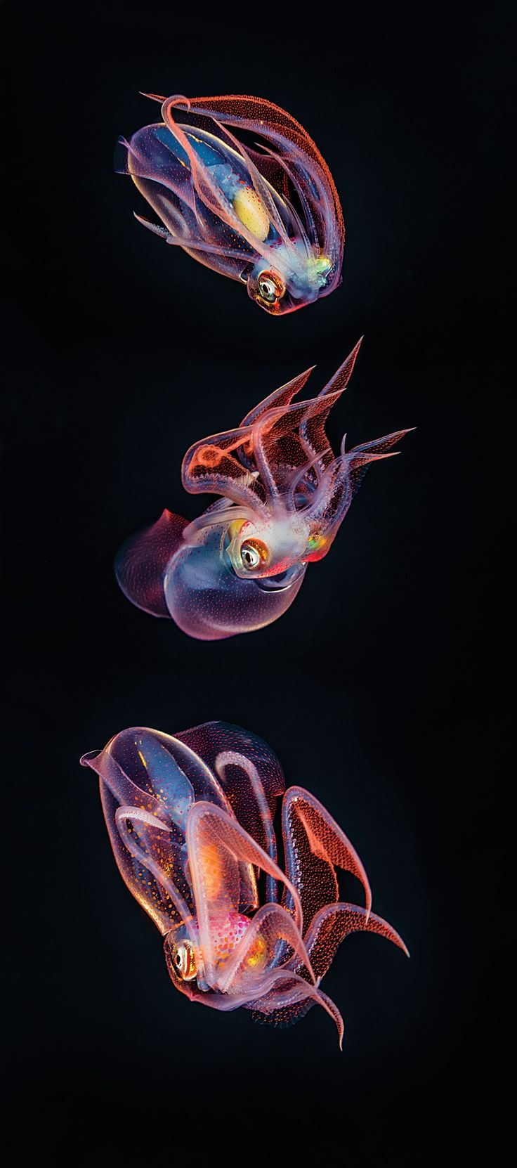Night dive creatures off the big island of Hawaii - Sport Diver Magazine