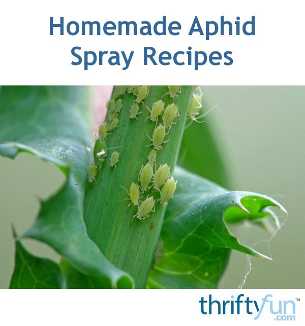 Aphids thrive in temperate regions and feast on plants. They are one of the most pesky and destructive pests that gardeners have to deal with. This page contains homemade aphid spray recipes.