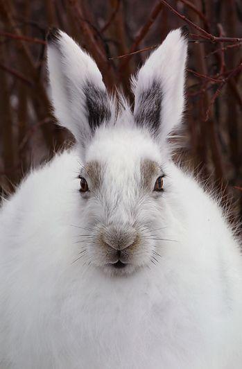 Arctic Hare, Churchill, Manitoba   Copyright 2002 Linda East/BUNNIES AS ART