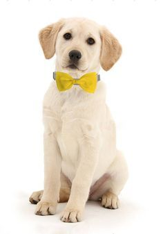 Yellow Dog Bow Tie - Formal Bow Tie for Dogs - Detachable Dog Bow Tie - Dog Wedding Attire - Yellow Bow Tie for Dogs - Yellow Bowtie by sophisticatedpup on Etsy
