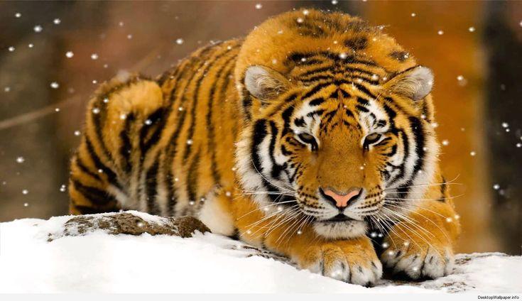 tiger moving wallpaper - http://desktopwallpaper.info/tiger-moving-wallpaper-9476/ #Moving, #Tiger, #Wallpaper moving, tiger, wallpaper