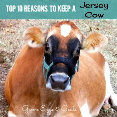 Top 10 Reasons to Keep a Jersey Cow. I would absolutely love to live on many acres of land one day, and having a cow and a few chickens seems ideal.