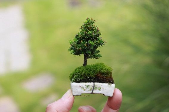 Now that's a Mame Bonsai! colors www.king-flower.com potted plants flowers bouquets delivery 14th februrary 8th march Mosocw City Russia region