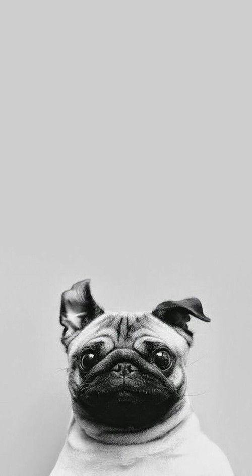 Imagem de dog, cute, and pug