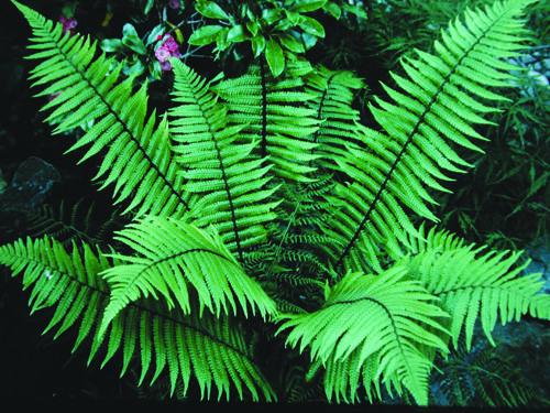 Wallichs Wood Fern 4ft X 4ft Garden Ideas Shade