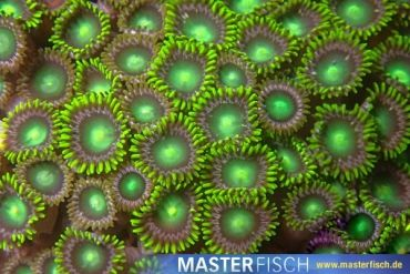 green Zoanthids Polyp (3-5 polyp)