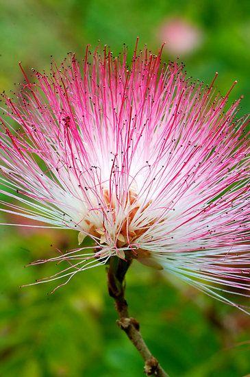 Honey Myrtle by Renee Hubbard Fine Art Photography Australian Flora