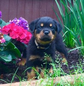 wildscape rottweilers-rottweiler puppies for sale in south carolina