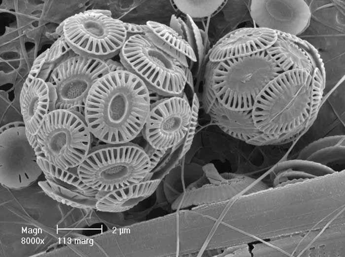"""Emiliania huxleyi, uno de los cocolitofóridos más abundantes  Los cocolitofóridos son algas unicelulares planctónicas que producen unas pequeñísimas placas o escudos (llamados cocolitos) de carbonato de calcio que se superponen entre ellas formando una estructura esférica en el interior de la cual vive el alga. Son mucho más pequeños que las diatomeas (con las que vive en las zonas cercanas a la superficie), por lo que a veces a este grupo se le denomina """"nanoplancton"""". Cuando el organismo…"""