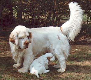Clumbers Spaniels..talk about a big dog