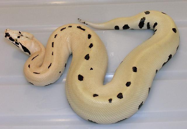 VPI Magpie Red Blood Python