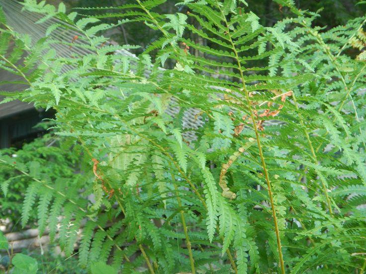 Hammock through ferns, Maine