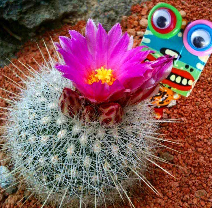 with solitary showy pink flowersrecommend the genus mammillaria トゲトゲだけどピンクの花が可愛いマミラリアは育てやすくていいね  By Robotman  #keyring #character #robotman #happy #cute #smile #artwork #woodcarving #handmade #interior #Thailand #mammillaria #goods #cactus #thorns #succulent #plants #ブサイクだけど可愛い #タイのバンコクの作家さん #ハンドメイド #木彫り #キーリング #ロボットマン #キャラクター #バンコク #雑貨 #マミラリア #園芸 #多肉植物 #サボテン by robotman_japan
