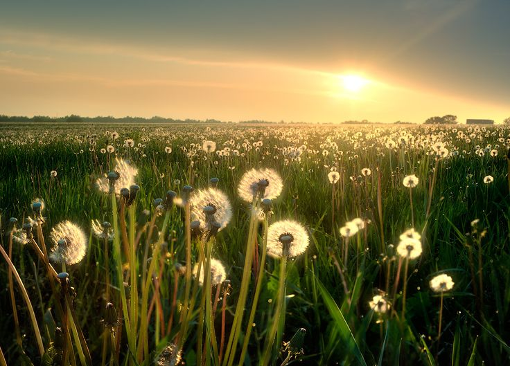 dandelions are really very pretty.