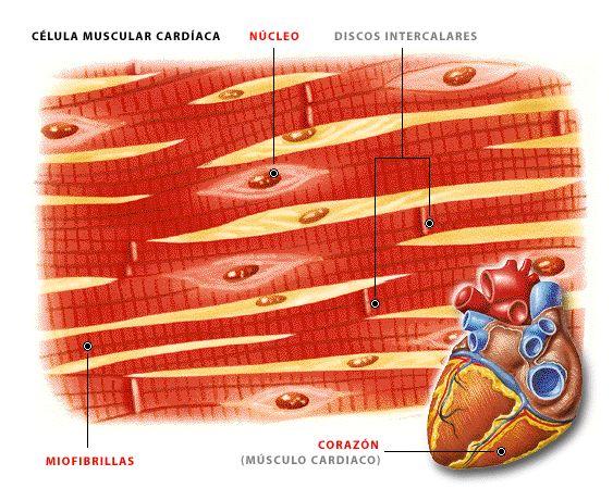 El músculo cardíaco se halla en el corazón. Actúa como el músculo liso de una sola unidad. La actividad neural y ciertas hormonas actúan modulando la frecuencia cardíaca.