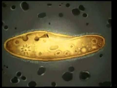 Ciencia Divertida Reino Protista o Protoctista - YouTube