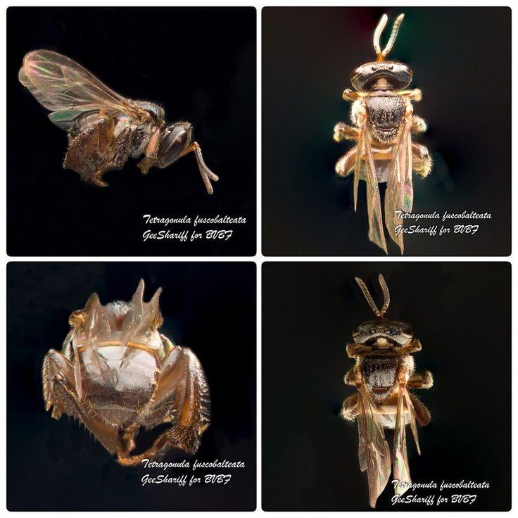 Tetragonula fuscobalteata - Meliponine / Stingless Bee / Kelulut | by Geeshariff