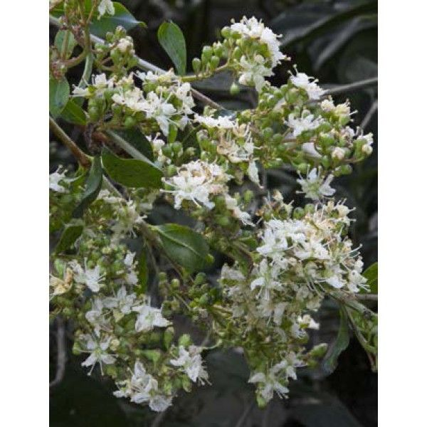 Henna Lawsonia Inermis Well Known For It S Dye Used In Hair