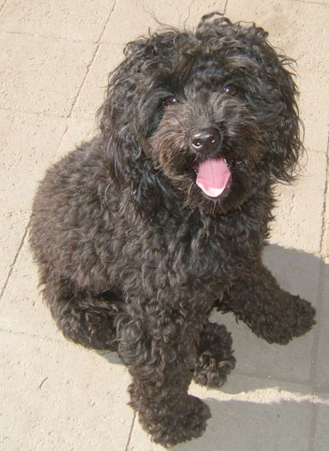 74 Best Images About Labradoodle Love On Pinterest