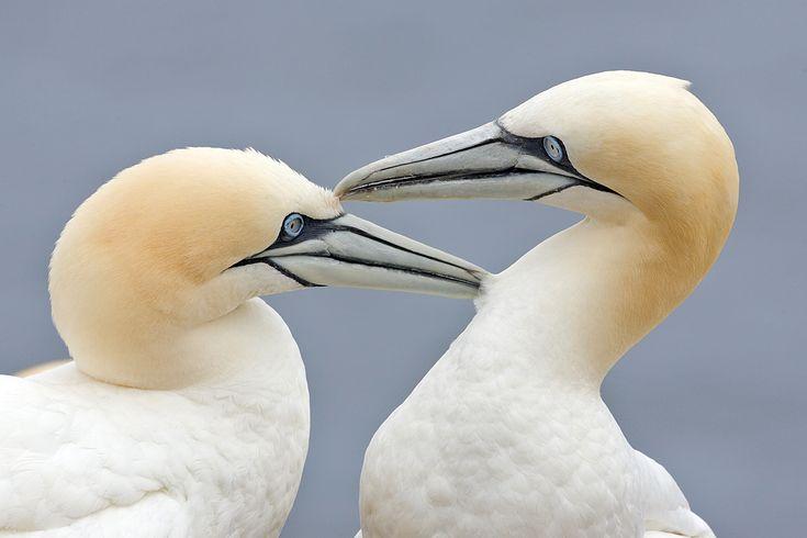 Beautiful Gannets, my favourite sea bird at #muriwai