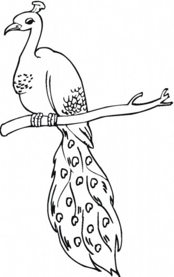 Image Detail For Beautiful Bird Peacock Coloring Pages