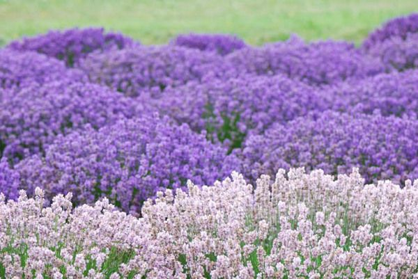 There Are Many Types And Varieties Of Lavender And Finding