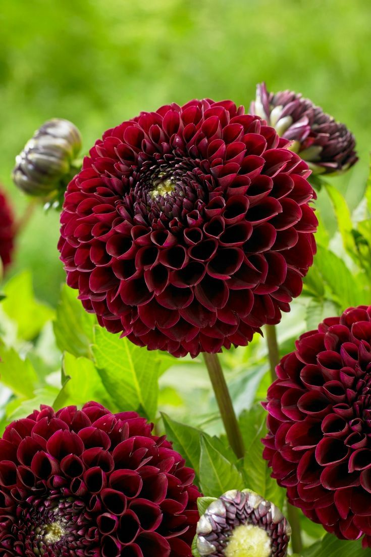 Dahlia Floral Designers Love Ball Dahlias For Their Perfectly Round Flower Heads Long Vase Life And Clear Intense Colors Dahlia Longfield Gardens Flowers