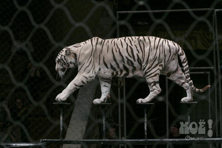 Белые тигры в цирке.Воронеж. / White tigers in tsirke.Voronezh.