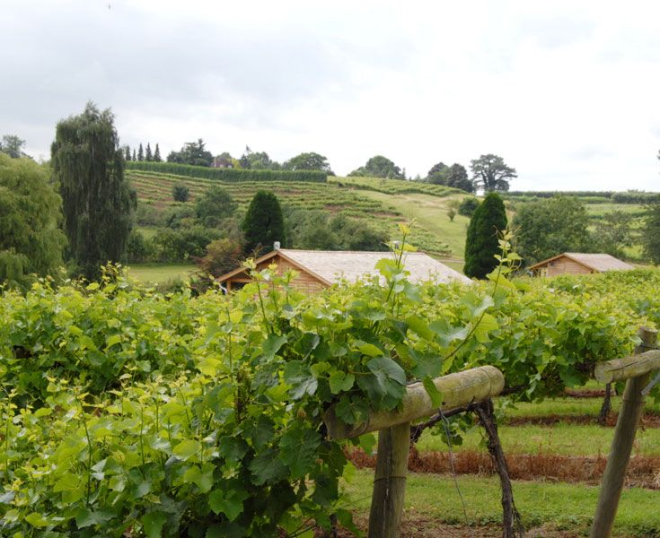 Vines from the English wine producer - Three Choirs in Newent, Gloucestershire