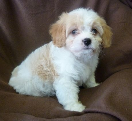 Cavachon Puppies for sale in London Puppies