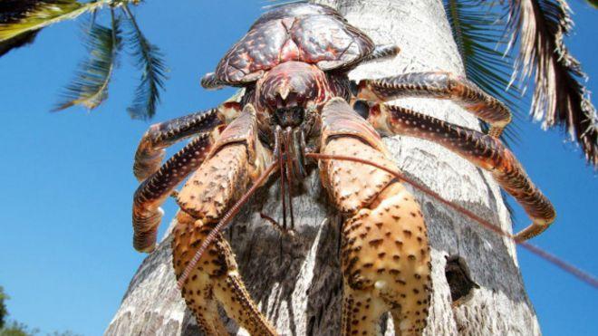 """Caranguejo """"Birgus latro"""", conhecido como ladrão-de-coco, é o maior artrópode terrestre, com até um metro de envergadura."""