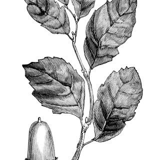 Cork Oak Leaves and Acorn ~ Free Vintage Clip Art   Flora ...