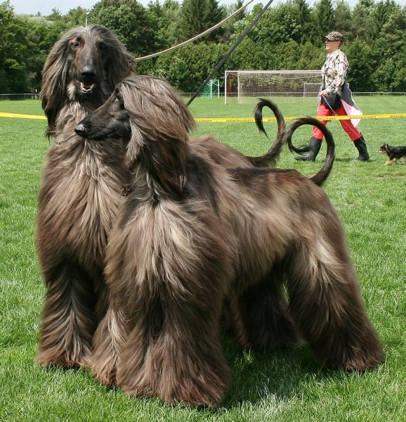 Scent Of Fame Afghan Hounds In 2020 Afghan Hound Brazilian Terrier Greenland Dog
