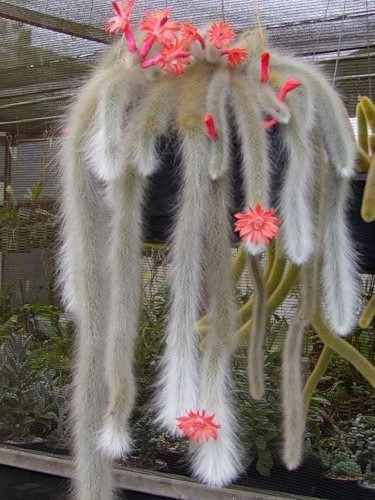 100 sementes cactos rabo de macaco - com garantia