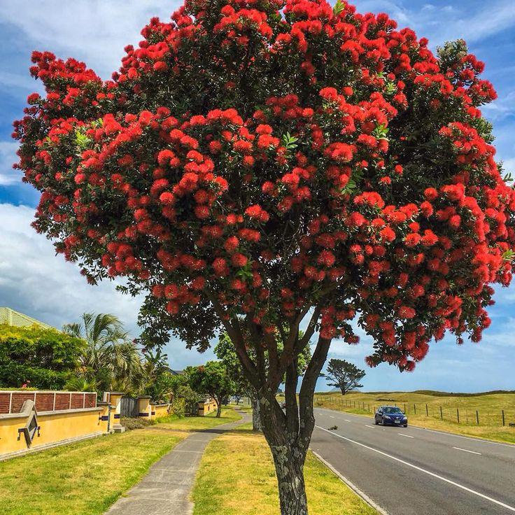 New Zealand Christmas Trees