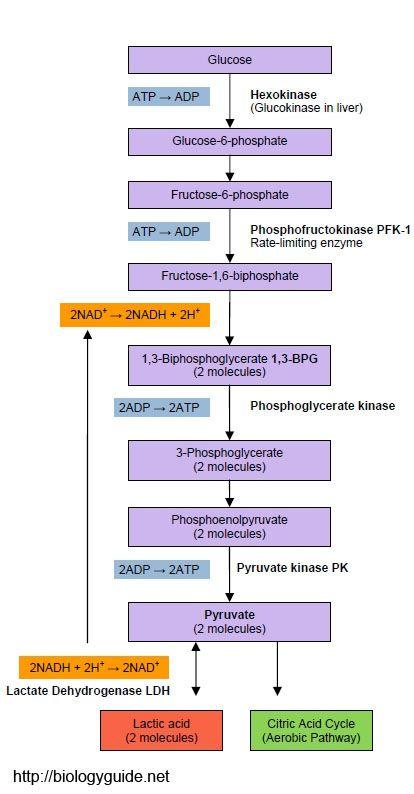 Simple Glycolysis Diagram